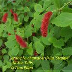 Acalypha chamaedrifolia 'Stephie'