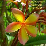 Plumeria rubra – Frangipani cultivars