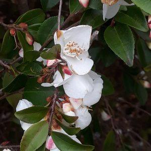 Camellia web