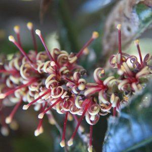 Red Bopple Nut web