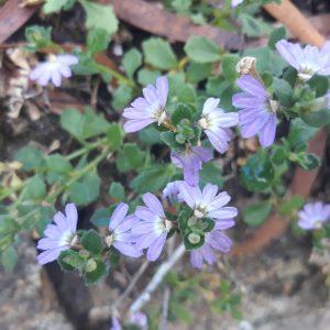 sm Fan Flower