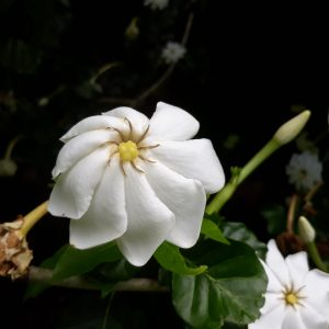 Tree Gardenia