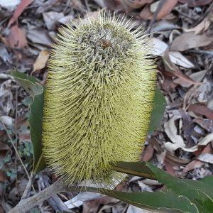Swamp Banksia-web