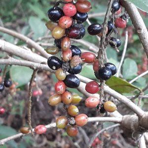 Native Currant fruit