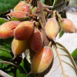 Rusty Carrabeen fruit