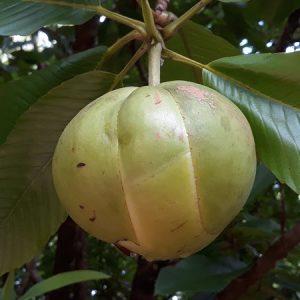 Elephant Apple Fruit