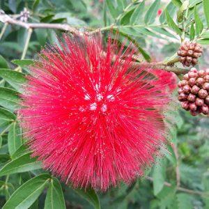 Calliandra-web