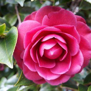 Red Camellia-web