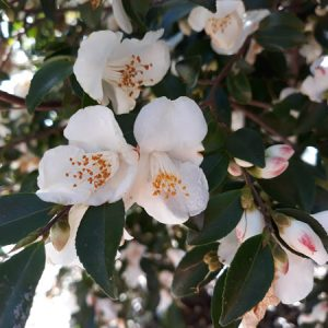 Scented Camellia-web
