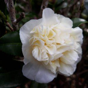 White Camellia-web